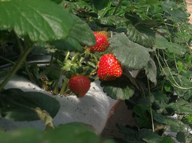 קטיף עצמי של תותים ביקב רימון